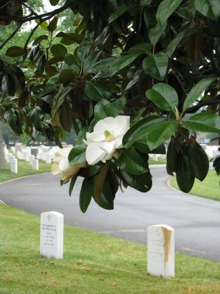 Magnolia Bloom in Arlington National Cemetery