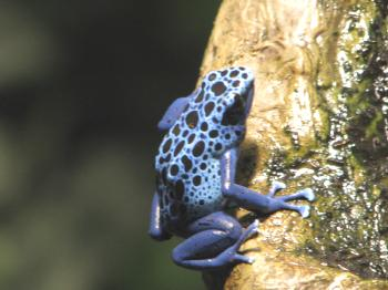 Neon  Blue Poison Dart Frog with Black Spots