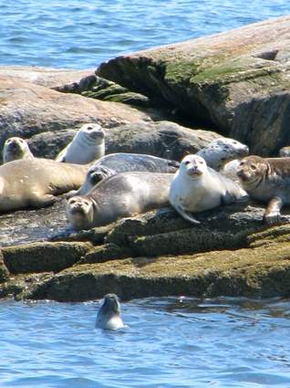 Harbor Seals near Franklin Island
