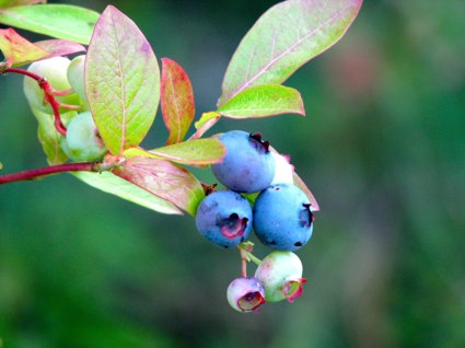 Blueberry Cluster on a Bush