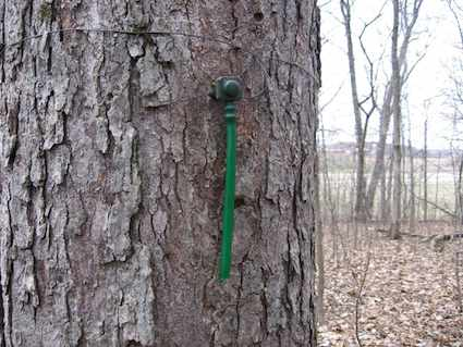 Maple Tree Tapped